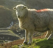 Another Walk, Another Herdwick by Jamie  Green