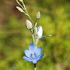 Blue Sun Orchid by Scott  Cook