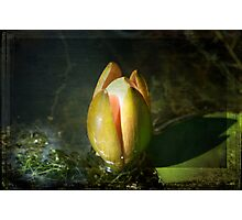 The Growing Bud Photographic Print