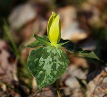 Yellow Trillium II by Gary L   Suddath