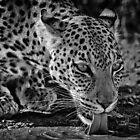 African Leopard at Water by Rashid Latiff