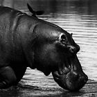Hippo and Oxpecker by Rashid Latiff