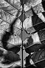 Leaf Symetry by Bob Larson