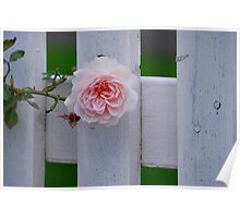 Rose on a white picket fence Poster