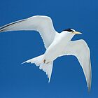 Least Tern by eangelina64