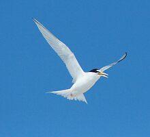 Least Tern full wing spread by eangelina64