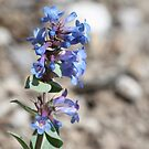 Shining Beardtongue (Penstermon nitidus) by Leslie van de Ligt