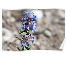 Shining Beardtongue (Penstermon nitidus) Poster