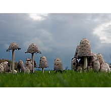 Ink cap mushrooms Photographic Print