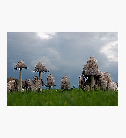 Ink cap mushrooms Photographic Print