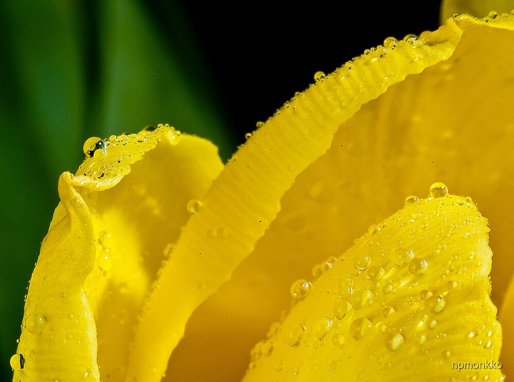 Drops on Tulips by Niko Mönkkönen