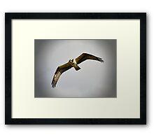 Flight of the Osprey  Framed Print