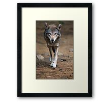 Red Wolf Strut Framed Print