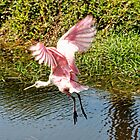 Spoonbill in Flight by Nukee