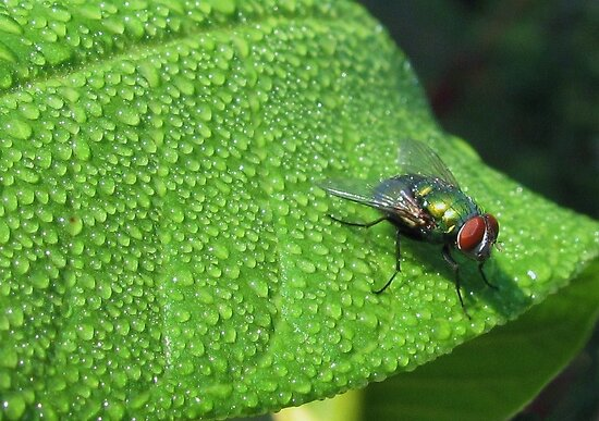 a fly on a leaf by ANNABEL   S. ALENTON
