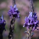 French Lavender by Karl Tattersall