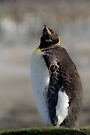 King Penguin moulting, St Andrews Bay, South Georgia by Coreena Vieth