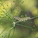 Black Swallowtail Caterpillar by Marija