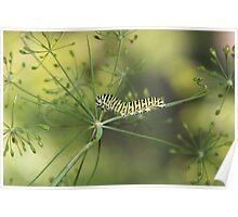 Black Swallowtail Caterpillar Poster