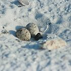 Least Tern Eggs/Nest by eangelina64