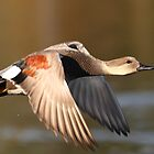 Fall Gadwall :) by Alinka