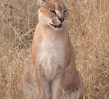 Okonjima - Caracal by Samantha Bailey