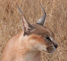 Okonjima - Caracal Profile by Samantha Bailey