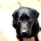One very sad Labrador by Jen Martin