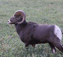 Sheep - Lillooet BC Canada by KansasA