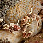 Spotted Porcelain Crabs ( Neopetrolisthes maculatus), North Sulawesi, Indonesia by Allan Saben