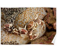 Spotted Porcelain Crabs ( Neopetrolisthes maculatus), North Sulawesi, Indonesia Poster
