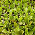 Lettuce Seedlings by Julia Ott