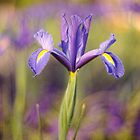 Iris by Julia Ott