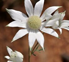 Conimbla National Park Flannel Flowers by julie anne  grattan