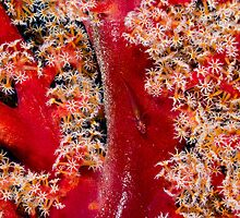 Goby on Soft Coral by allyazza
