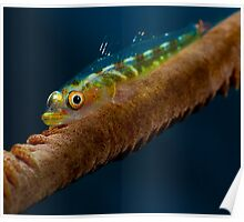Goby on Whip Coral Poster