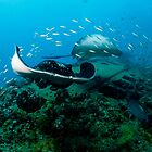 Bull Rays on SS Yongala by allyazza