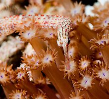 Orange Spotted Pipefish by allyazza