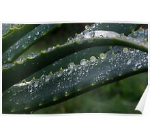 water drops on aloes Poster