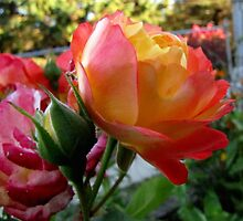 Rose of Many Colors by Veronica Schultz