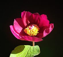 Paeonia sp. by joancaronil