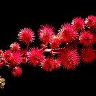 Ricinum sp.  by joancaronil