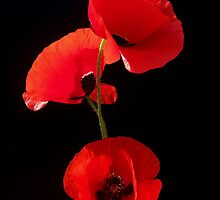 Papaver sp. by joancaronil