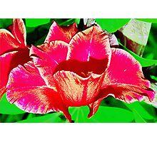 Sword lily  Photographic Print