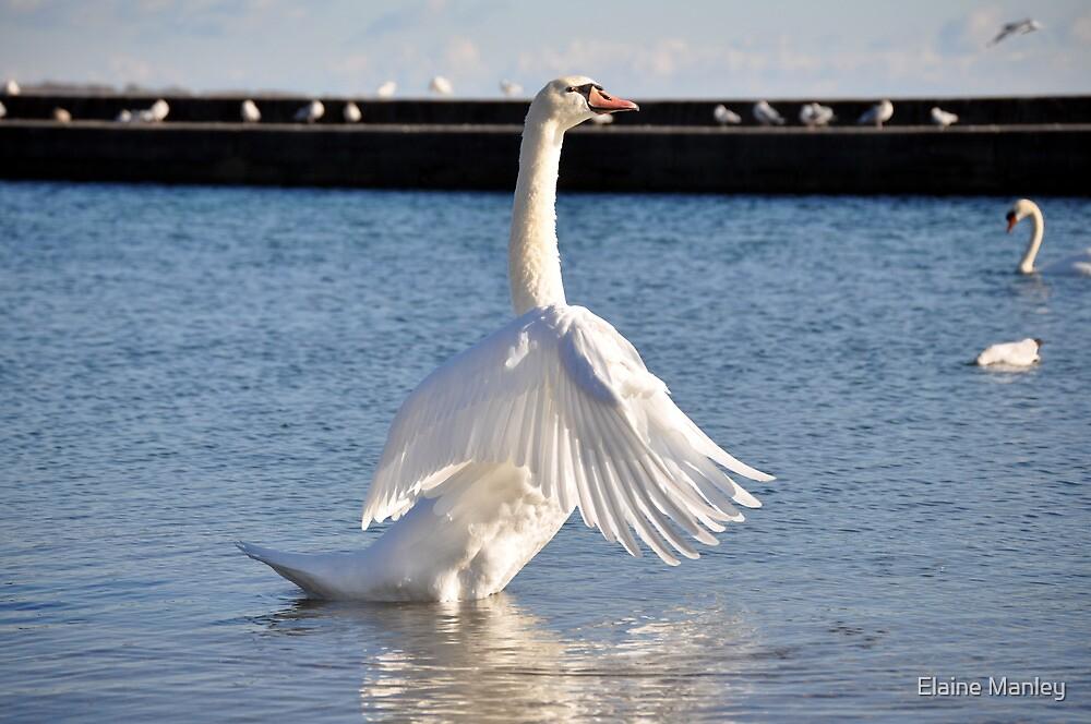 Mute Swan .. Im the boss around here  by Elaine  Manley