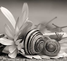 Garden Snails On Gerbera Daisy Flower by PhotographyTK