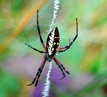 Garden Spider by AnnaBrittingham