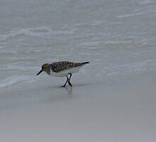 Sanderling, Pensacola Beach by eangelina64