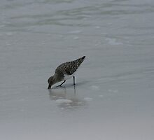Sanderling forage by eangelina64
