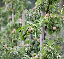 Apples by cmgo